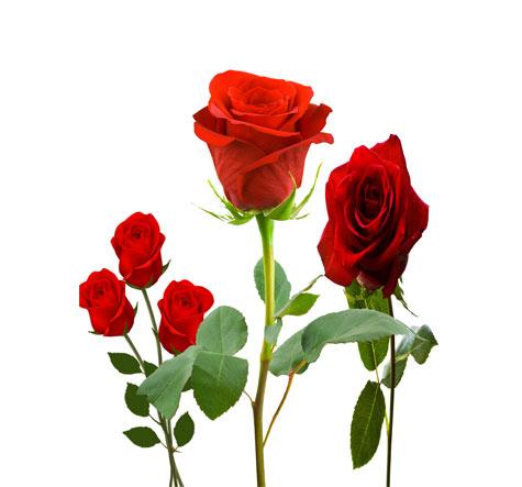 فایل لایه باز سه عدد گل رز زیبا - psd