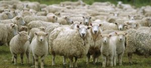 دانلود پاورپوینت پروژه پرواربندی 100 راس گوسفند بلوچی